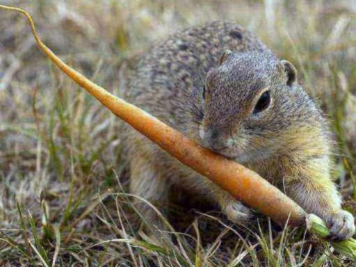 About Gophers