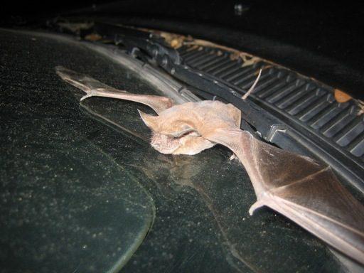 Bat Diseases