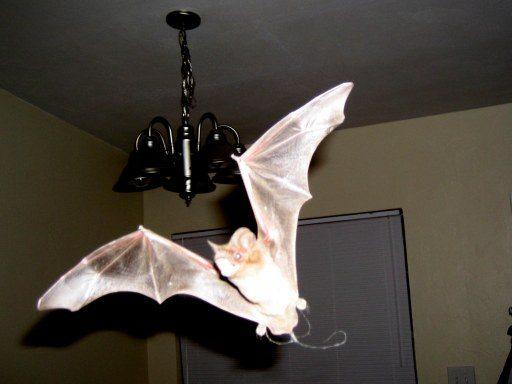 Bat Maternity Colony