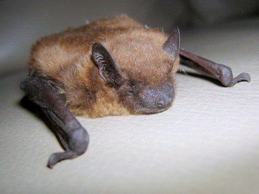 Bat Poison, Brown Bat