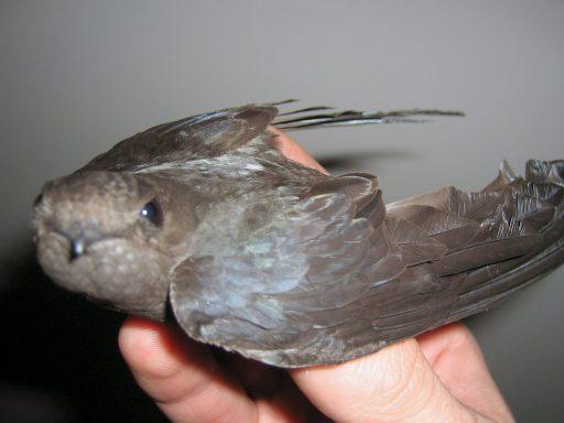 CANADA GEESE BIRD