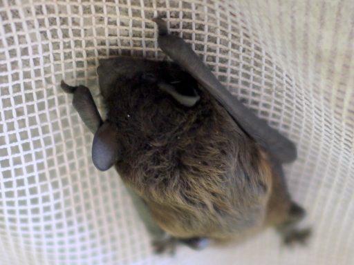 Dead Bats Removal