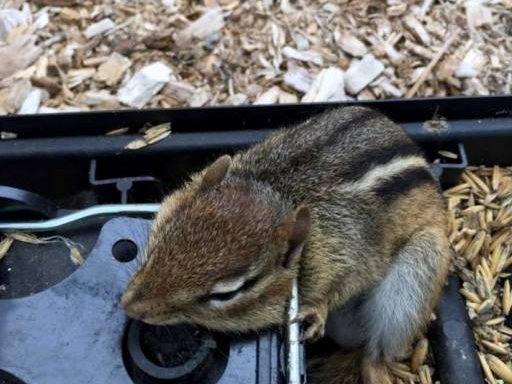 Different ways to trap a chipmunk - kill trap
