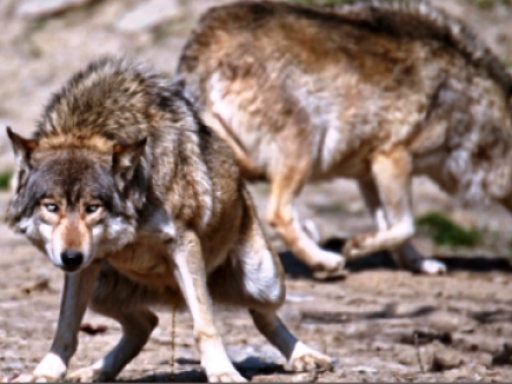 Do coyote repellents work_ - wolf urine
