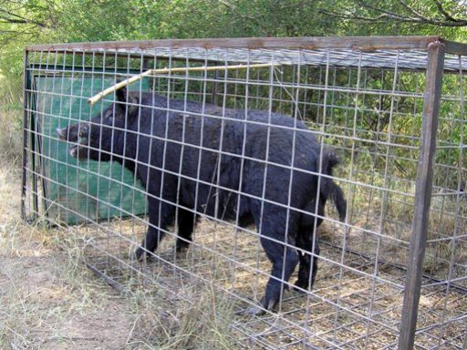 Wild Hogs Removal