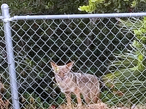 Coyotes Prevention