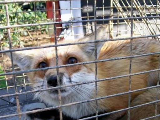 Fox Prevention