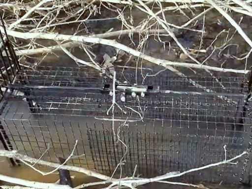 Humane Ways to Remove Beavers - live trap