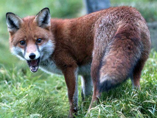 Fox Sickness