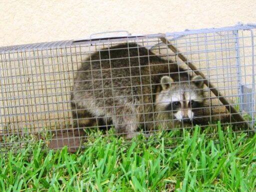 kill nuisance raccoon