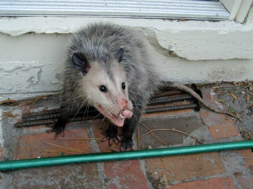 Why Opossums Play Dead