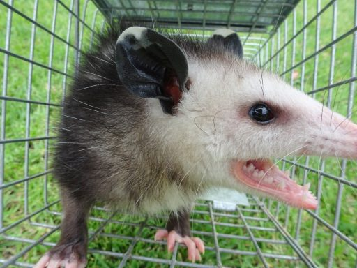 Opossum Repellents