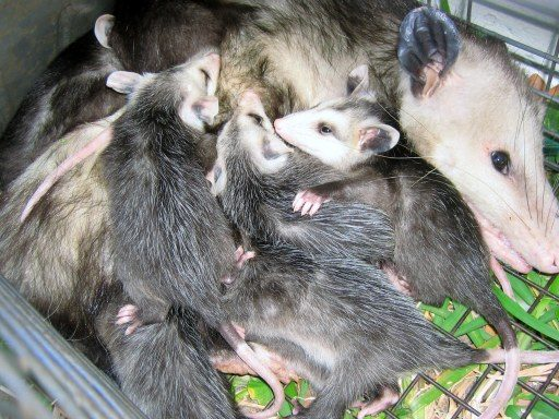 Opossum Diseases