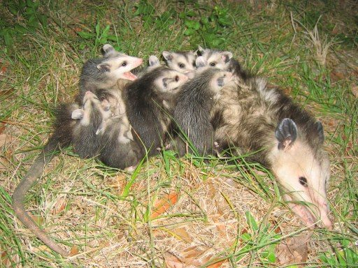 About Virginia Opossum, Get Opossums off of Roof, What Attracts Opossums