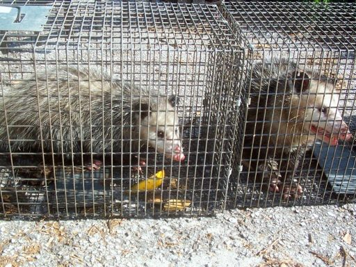 Keep Opossums Out of Garbage