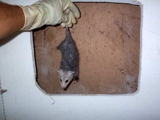 Opossum in House