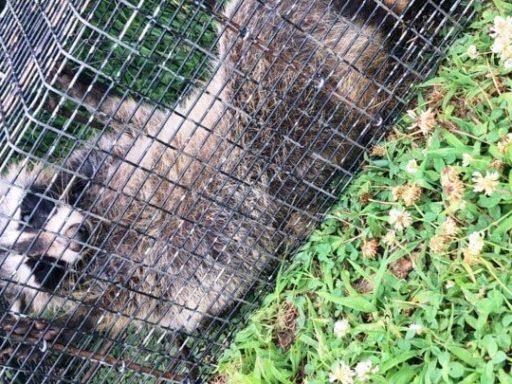 Trap Raccoon