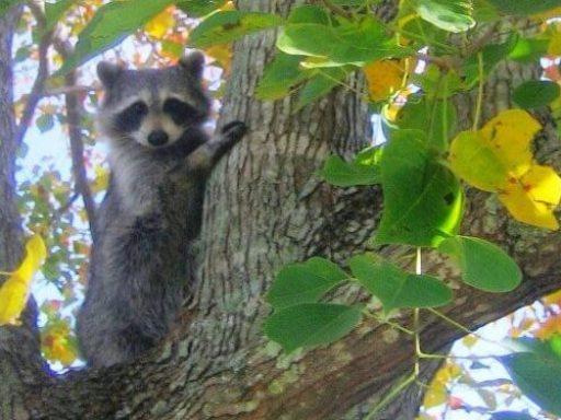 Raccoon Out Of Garden; Raccoon