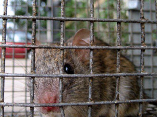 Rat Diseases, Mice Relocation