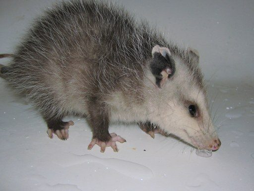 Sick Opossum, Sick Opossum Symptoms