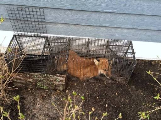 Tips for trapping a fox - placement on den