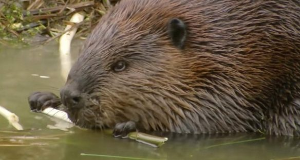What Is a Beaver's Natural Diet - diet