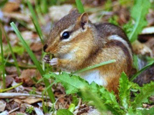 What damage do chipmunks cause_ - garden