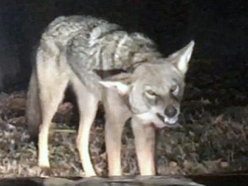 Coyotes Diseases