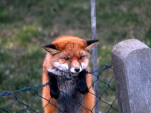 Fox Removal From Property