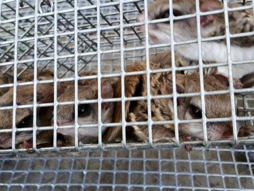 chipmunks crowded in trap