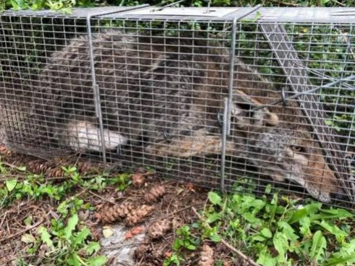 Trapping Coyote