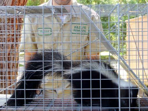 expert skunk removal