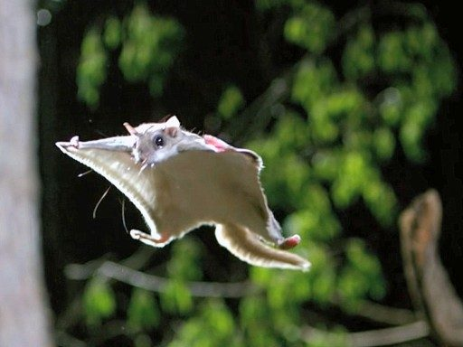 http://pestwildlife.org/killing-ways-of-flying-squirrels/