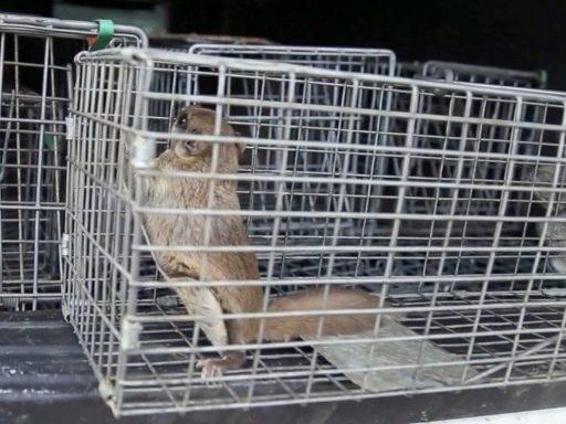 Trap Flying Squirrels