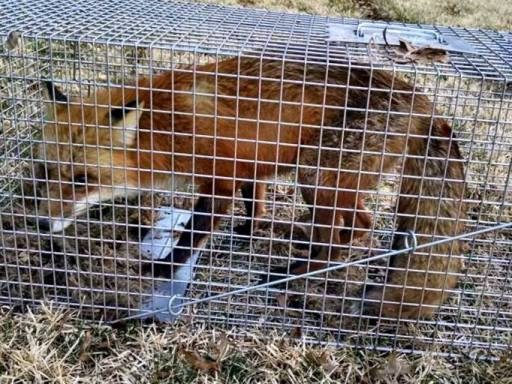 fox caged