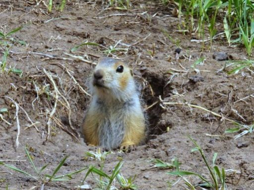 Gophers Prevention