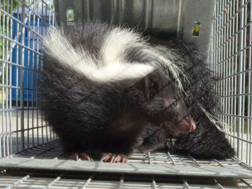 live skunk in trap