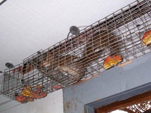 Trap Squirrel