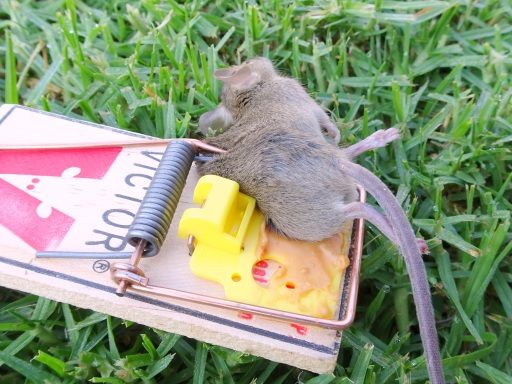 Mice Out Of Garden, Glue traps for mice