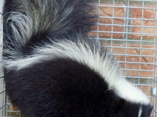 remove skunks