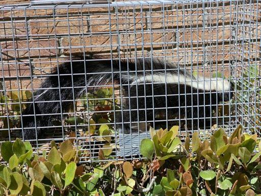 skunk live trap