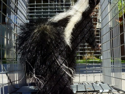 skunk pest control