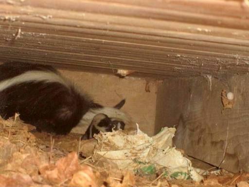 skunk under house