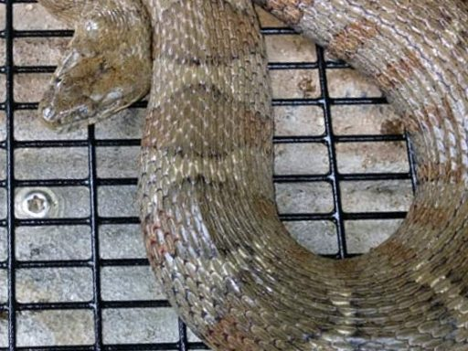 snake in cage trap
