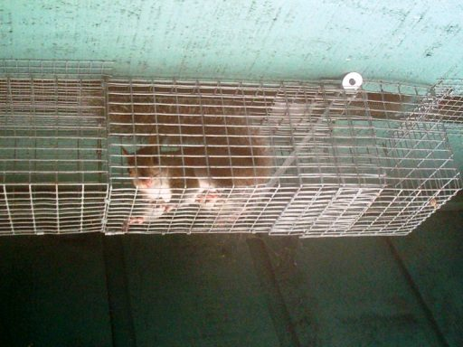 Squirrel Removal From Attic