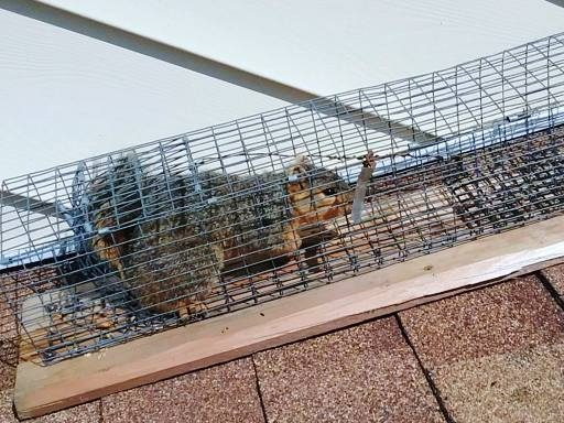 Remove Squirrels From Roof
