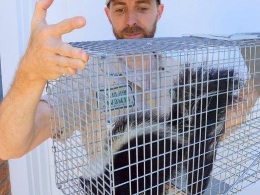 technitian removing skunk