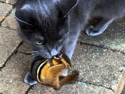 ways to kill a chipmunk cat