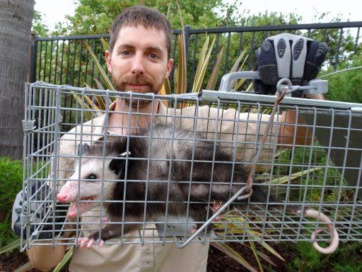 Opossum Bait Techniques