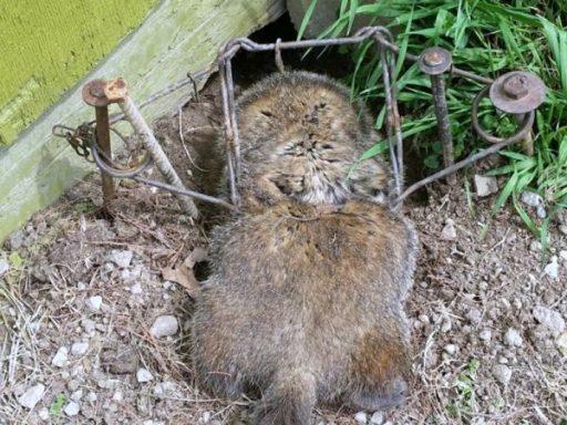 woodchuck kill trap